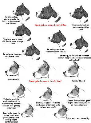 Breed information images of AmStaff heads