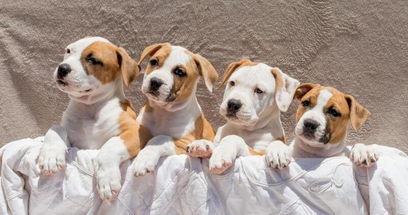Gitana x Brody pups